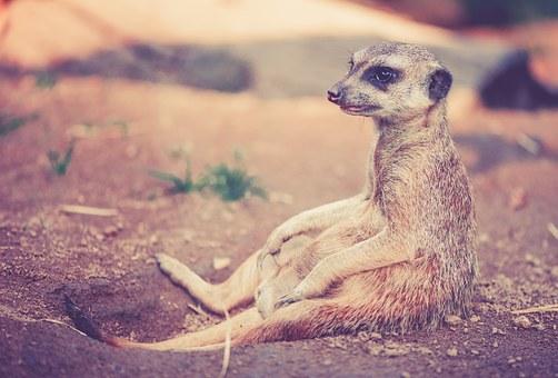 meerkat-459171__340